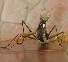 Preying on Praying Mantis   by taiche