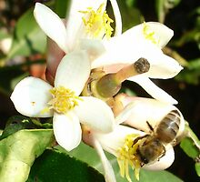 Honey Bee on Lemon Tree by taiche
