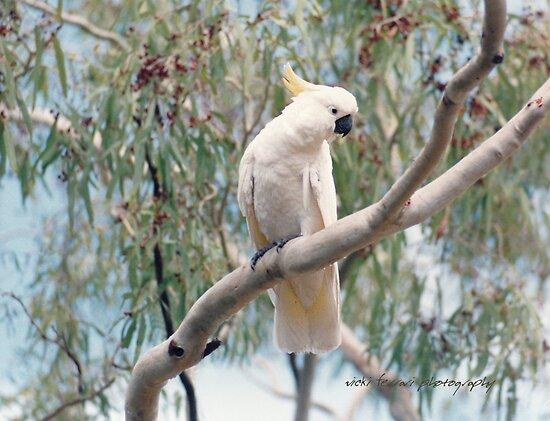 Hamilton Island Cockatoo © by Vicki Ferrari