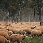 Droving Sheep at Albert  © Vicki Ferrari Photography by Vicki Ferrari