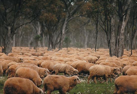 Droving Sheep at Albert  © Vicki Ferrari Photography by Vicki Ferrari