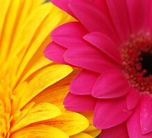 Golden Yellow Hot Pink Bright Gerbera Daisies Abstract by HotHibiscus