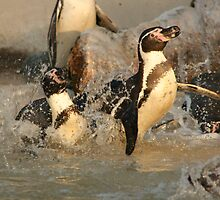 Penguin Splash by amjaywed