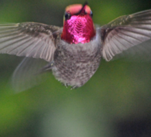 HUMMINGBIRD MALE ANNA'S FLAPPING HIS WINGS Sticker