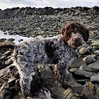 Lagotto Romagnolo (Italian Water Dog) by Mark  Allen