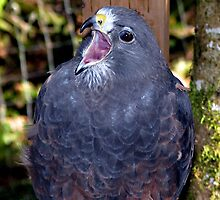 Dark morph, Swainson's Hawk by Chuck Gardner