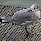 Laughing Gull - First Winter by Jamie  Green