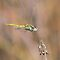 Dragonfly in flight by jimmy hoffman