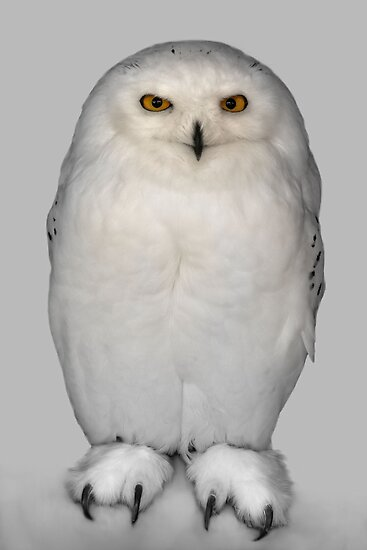 Snow-owl by jimmy hoffman
