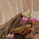 Mantis Religiosa: The Praying Mantis by taiche