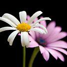Pink & White by Jeremy Owen
