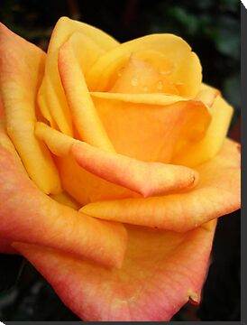 Yellow blushing rose by May Lattanzio
