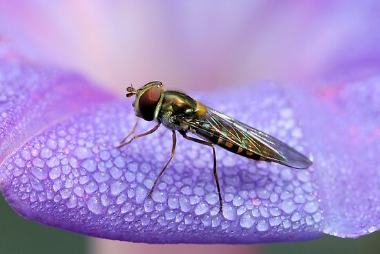Hoverfly on Morning glory by jimmy hoffman