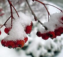 Red Berries in the Snow by Julie Gappmayer