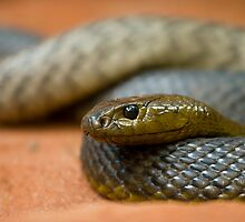 Fierce Snake by Jack Reynolds