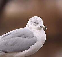 Herring Gull by shellie75