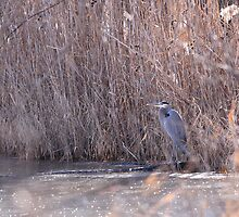 Great Blue Heron by shellie75