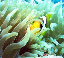 Clownfish Sharm by Steve  Elliott