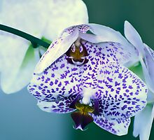 Orchid #9 by olivia destandau