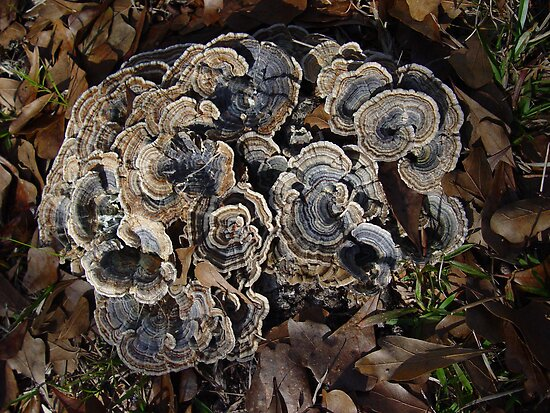 Turkey Tails by May Lattanzio