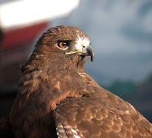 Red Tailed Hawk by starbucksgirl26