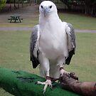 White bellied Sea Eagle by jaycee
