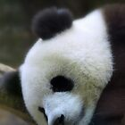 Sleepy Panda by dotweb