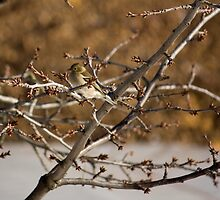 Sparrow by becks78