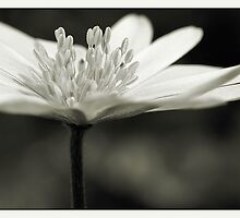 Flower Black and White by AnnieSnel