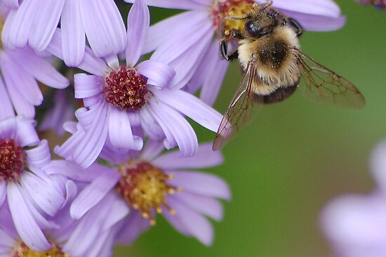 A honeybee on purple flower by loiteke