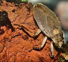 Giant Diving Beetle by Jen Millard