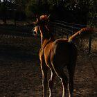 Arabian Foal by stackerzling