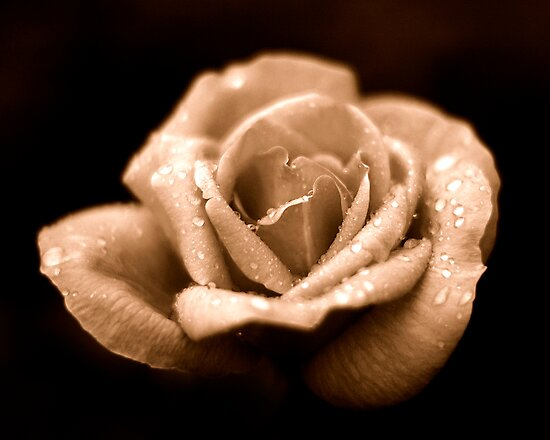 Rose by Andrew Holford