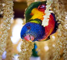 Inquisitive Rainbow Lorikeet by Tony Steinberg