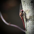 Dragonfly by jeffrae
