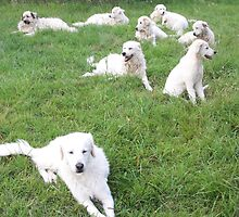 Maremma Sheepdogs Enmasse by ariete