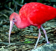 Red Ibis by Laurel Talabere