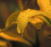 Dew Drops on a Petal by Bill Spengler