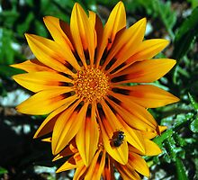 Gazania & Friends, Esperance, Western Australia by Adrian Paul