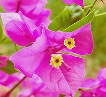 Bougainville. by cieloverde