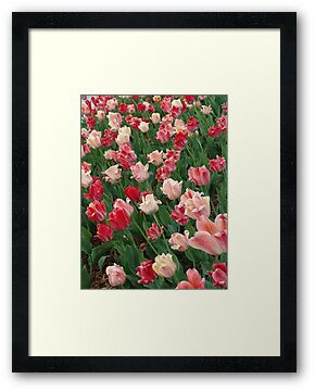 Tulips by May Lattanzio