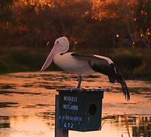 Pelican Pose At Sunset by Kathryn Potempski