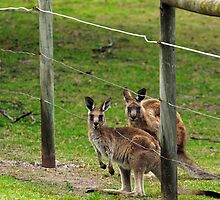 Kangaroos at Pambula Beach by Darren Stones