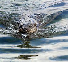Otter swimming by wildlifephoto