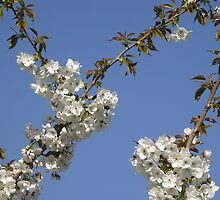 Cherry Blossoms by mariondixon