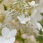 White Flowers by manchesterjohn