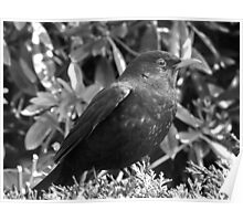 Blackbird in black and white Poster