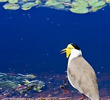 Masked Lapwing by Nickolay Stanev