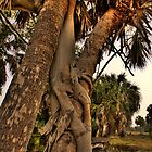 Strangler Fig on Palms by sailorsedge