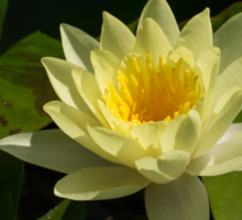 Waterlily in Yellow Sticker